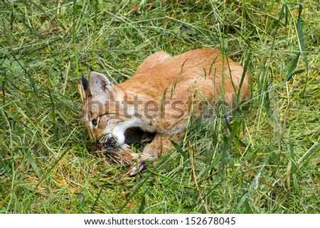 Baby lynx eating - stock photo