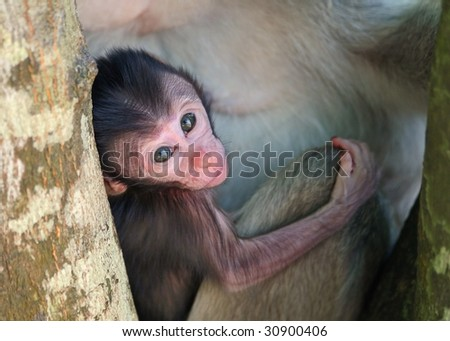 baby macaque - stock photo