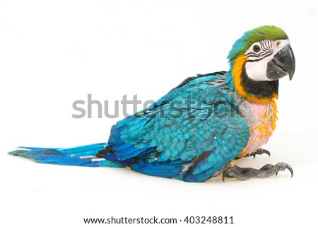 baby macaw on white background