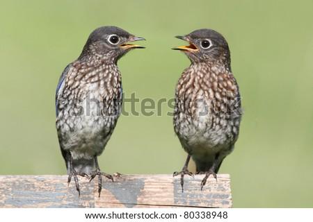 Baby Male Eastern Bluebirds (Sialia sialis) on a fence - stock photo