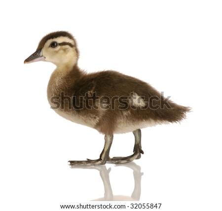 Baby Mallard Duck Isolated On White Stock Photo (Royalty Free ...