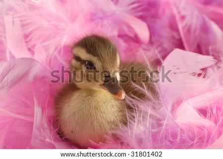 baby mallard duck surround by pink feathers - stock photo