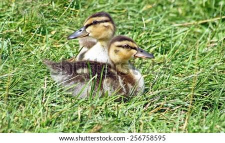 Baby Mallard ducklings resting side by side - stock photo