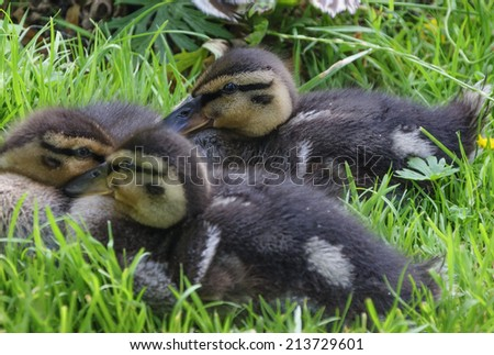 baby mallard ducks laying down on grass - stock photo