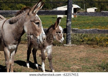 Baby Miniature Donkey With Mother - stock photo