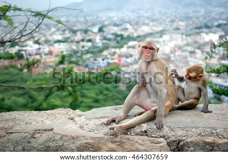 Baby monkey grooming for his mother near Galta Temple, Galwar Bagh, Monkey Temple in Jaipur, India. The temple is famous for large troop of monkeys who live here.
