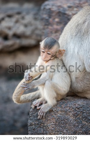 Baby monkey playing tail of mother