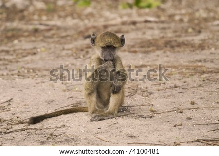 Baby monkey sitting and monitoring
