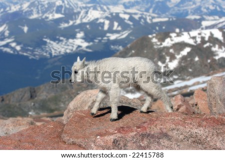 Baby Mountain Goat on Mount Evans, Colorado - stock photo