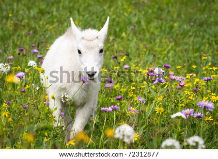 Baby Mountain Goat Walking Through Meadow of Flowers - stock photo