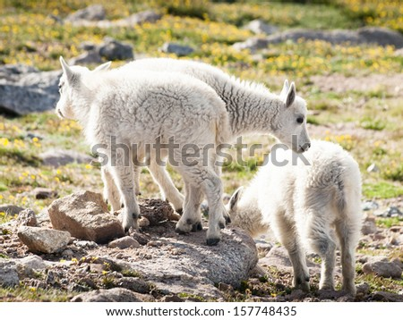 Baby Mountain Goats in the colorado Rockies.