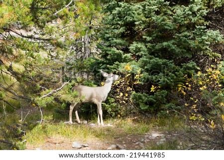 Baby mule deer (Odocoileus hemionus) eats bush - stock photo
