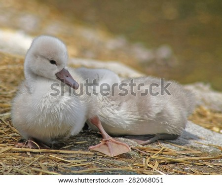 Baby Mute Swan resting and sunning on dry land while his sibling sleeps soundly behind him - stock photo