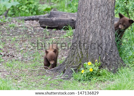 Baby North American Black Bear - stock photo