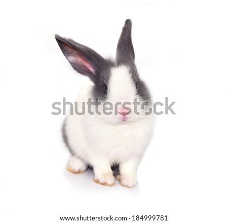 Baby of white&gray rabbit on white background  - stock photo