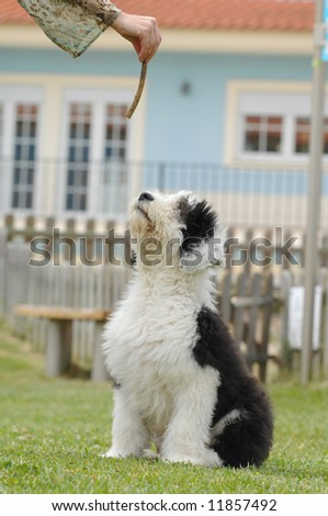 baby Old English Sheepdog playing with a stick - stock photo