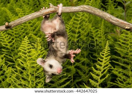 Baby Opossum  - stock photo