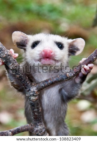 Baby opossum learning to climb (colloquially possums) - stock photo