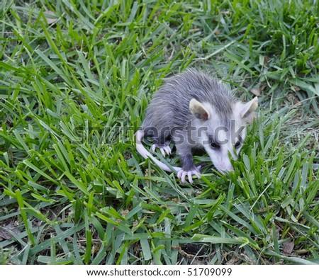 Baby Opossum sitting in grass - stock photo