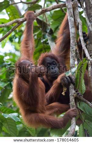 Baby Orang utan and mother orang utan resting on the tree, Sarawak, Malaysia - stock photo