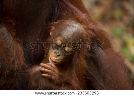Baby Orangutan in south Borneo Indonesia. - stock photo