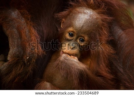 Baby orangutan in the jungle of Borneo Indonesia. - stock photo