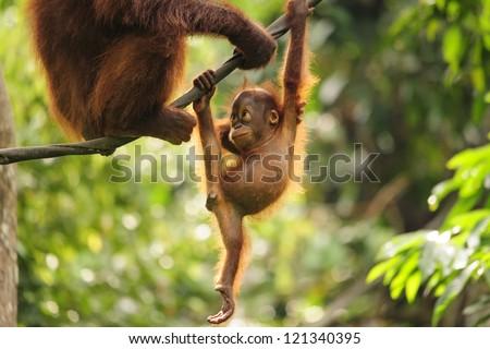 Baby Orangutan Playing - stock photo