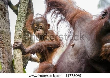 Baby orangutan (Pongo pygmaeus). Bornean orangutan (Pongo o pygmaeus wurmmbii) in the wild nature. Rainforest of Island Borneo. Indonesia. - stock photo