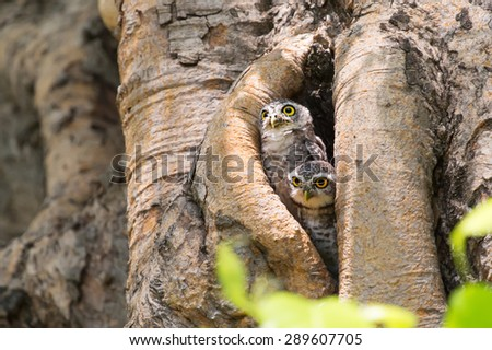 Baby owl in the hollow of a tree. - stock photo