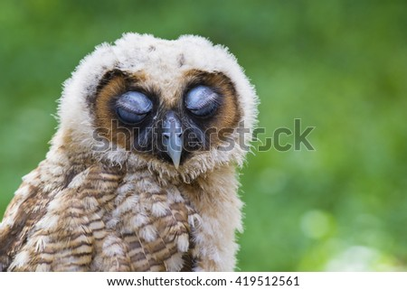 Baby owl 6 month. - stock photo