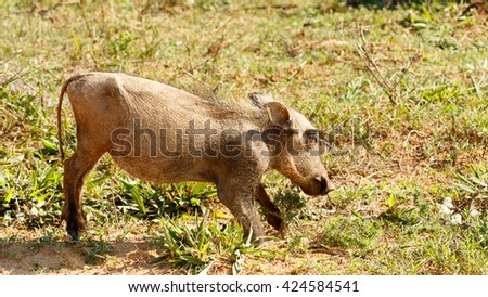 Baby - Phacochoerus africanus - The common warthog is a wild member of the pig family found in grassland, savanna, and woodland in sub-Saharan Africa. - stock photo