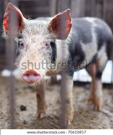 Baby pig behind bars in a pigsty - stock photo