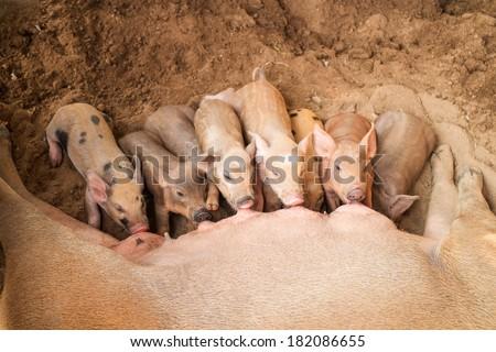 Baby Pig Feeding Milk - stock photo