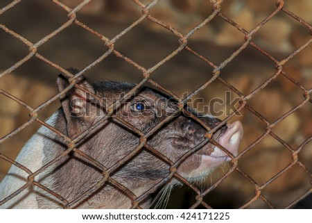 Baby pig in cage