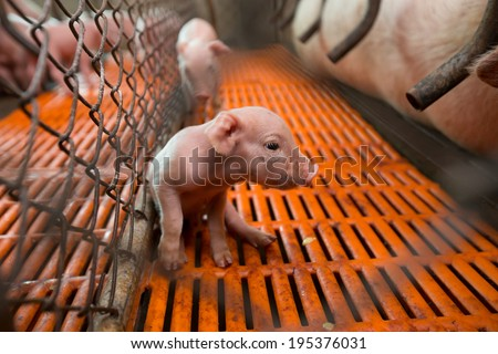 baby pig in cage with her mother nearby - stock photo