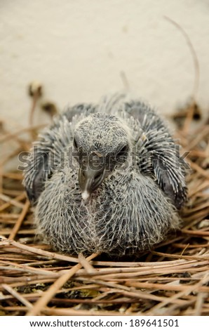 Baby pigeon in nest