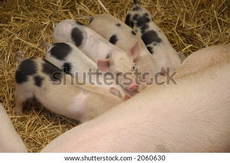 Baby pigs eating while one of them posing :) - stock photo