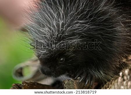 Baby Porcupine (Erethizon dorsatum) Close Up - captive animal - stock photo