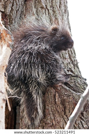 Baby porcupine in tree