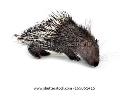 baby porcupine isolated on white background - stock photo