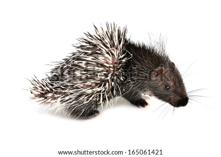 baby porcupine isolated on white background - stock photo