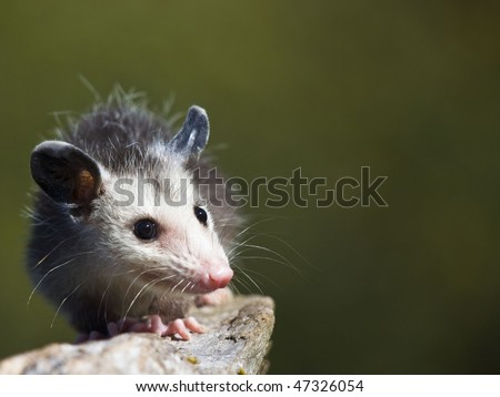Baby possum crawls along a small branch - stock photo
