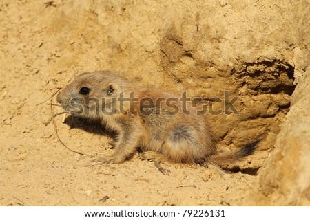 Baby prairie dog - stock photo