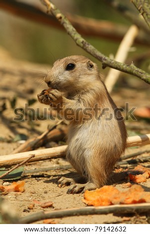 Baby prairie dog eating - stock photo