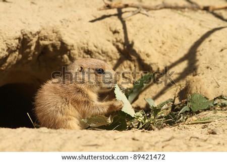 Baby prairie dog eating - stock photo