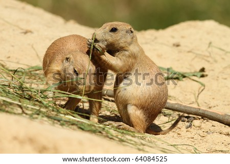 Baby prairie dog eating and leaning against other - stock photo