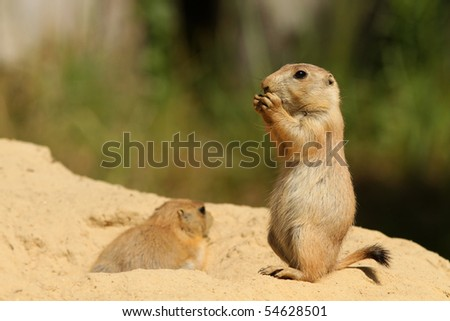 Baby prairie dog eating and standing upright - stock photo