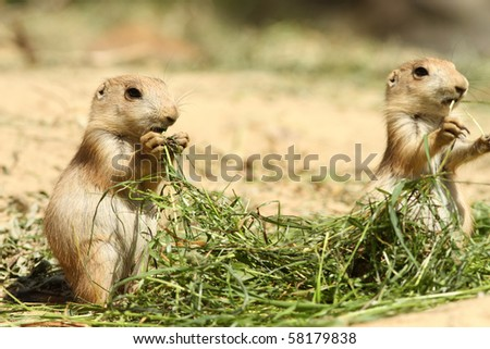 Baby prairie dog eating grass (focus on the left one) - stock photo