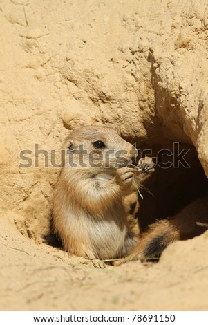 Baby prairie dog eating while sitting in its burrow - stock photo