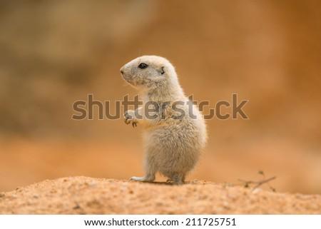 Baby prairie dog (genus cynomys) - stock photo